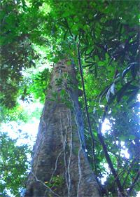 メルバオの原木